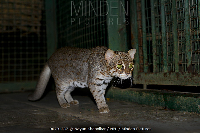 Rusty spotted cat (Prionailurus rubiginosus) captive in cage, Sanjay Gandhi National Park, India.