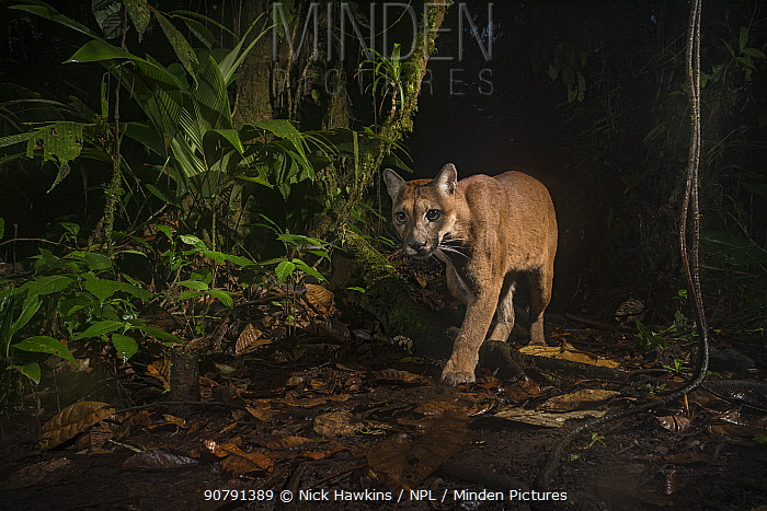 Puma (Puma concolor)  in Choco rainforest, Ecuador.