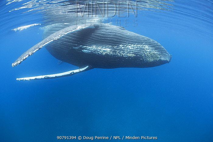 Humpback whale (Megaptera novaeangliae) female with calf behind, A'u A'u Channel, off West Maui, Hawaii, Hawaii Humpback Whale National Marine Sanctuary, USA.