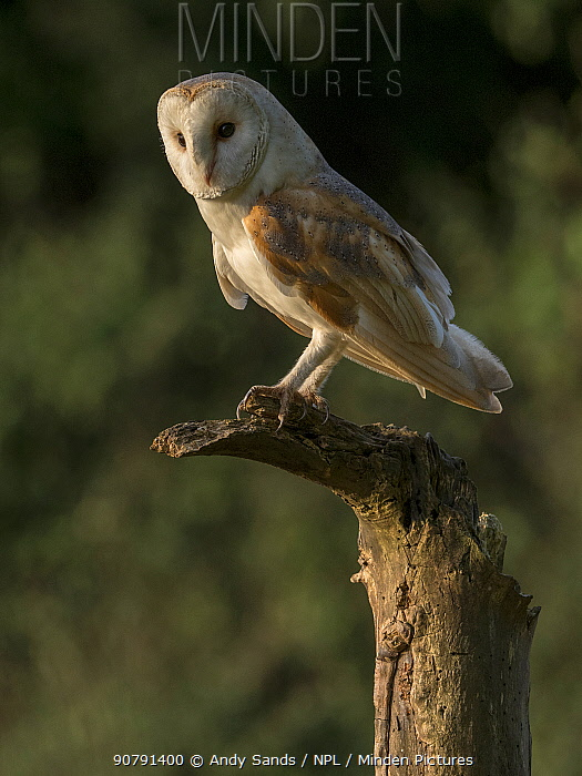 Barn owl (Tyto alba) Perched on dead tree in evening light, Bedfordshire, England, UK, July