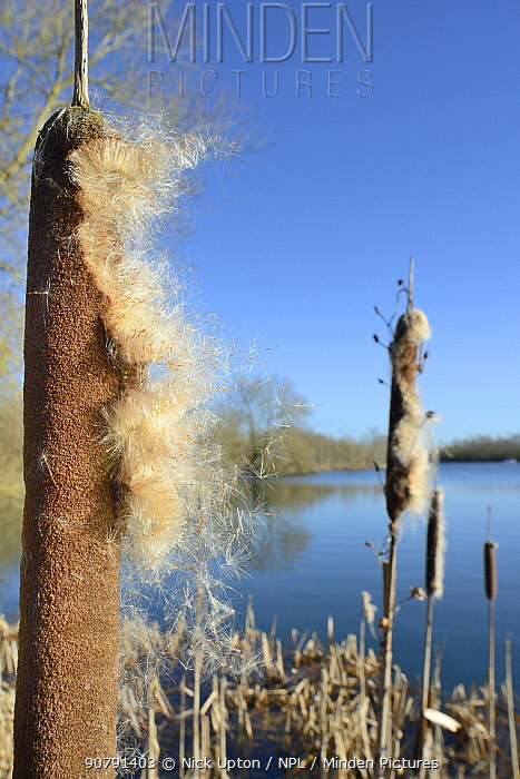Greater Bullrush / Reedmace (Typha latifolia) with seeds emerging in winter ready for dispersal on breezes, Cotswold Water Park, Wiltshire, UK, January.