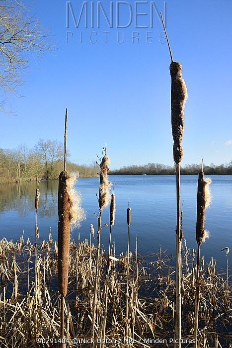 Greater Bullrush / Reedmace (Typha latifolia) with seeds emerging in winter, Cotswold Water Park, Wiltshire, UK, January.