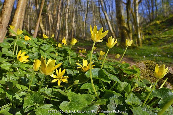Lesser celandines (Ranunculus ficaria) flowering on woodland floor, SWT Black Rock Reserve, Cheddar Gorge, Mendip Hills, UK, April.