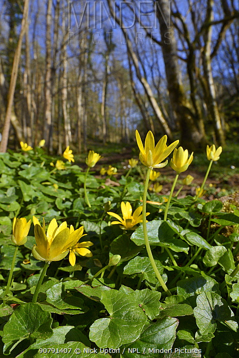 Lesser celandines (Ranunculus ficaria) flowering on woodland floor, SWT Black Rock Reserve, Cheddar Gorge, Mendip Hills, UK, April.