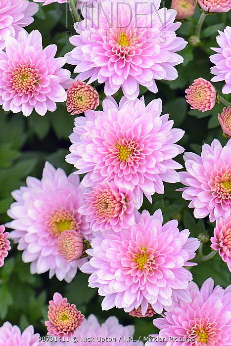 Pink Dahlia flower, from Wiltshire garden, UK, September.