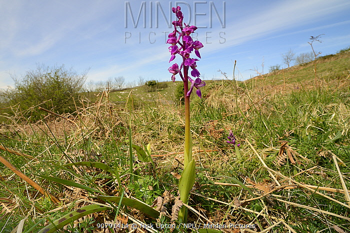 Early purple orchid (Orchis mascula) flowering on chalk grassland, Mendip Hills, Somerset, UK, April.