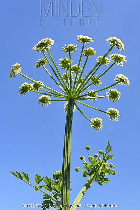 Hemlock water-dropwort (Oenanthe crocata) umbel flowering, Wiltshire, UK, May.