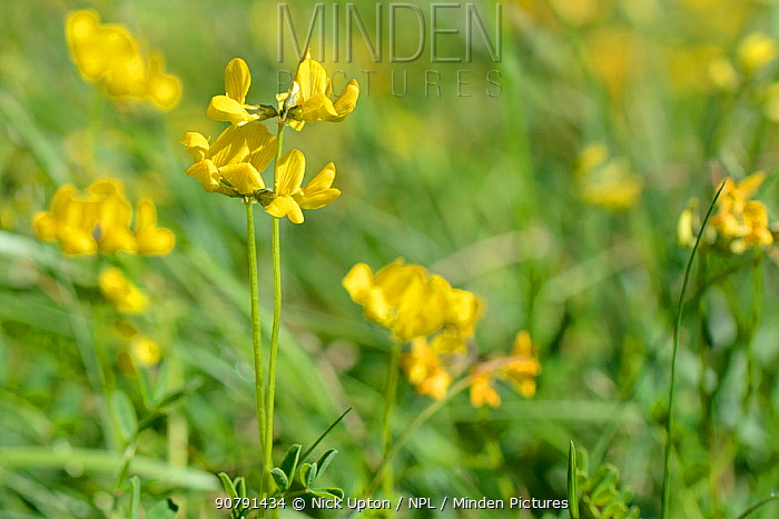 Horseshoe vetch (Hippocrepis comosa) flowering in a chalk grassland meadow, Wiltshire, UK, May.
