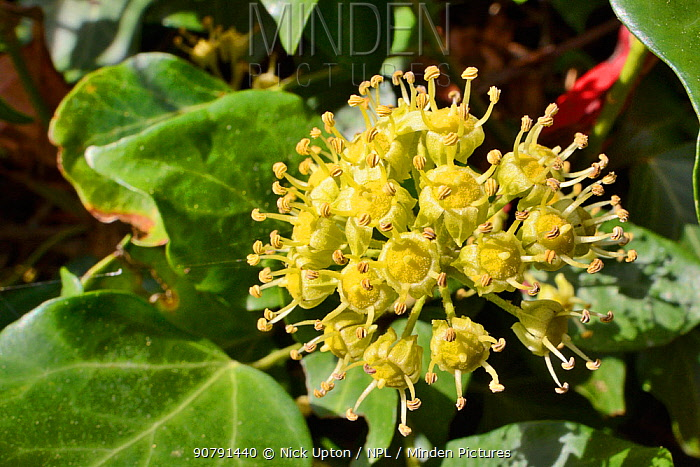 Ivy (Hedera helix) flowering in a garden, Wiltshire, UK, September.