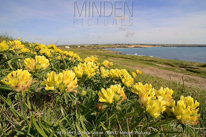 Kidney vetch (Anthyllis vulneraria) flowering on coastal grassland, Constantine Bay, Cornwall, UK, April.