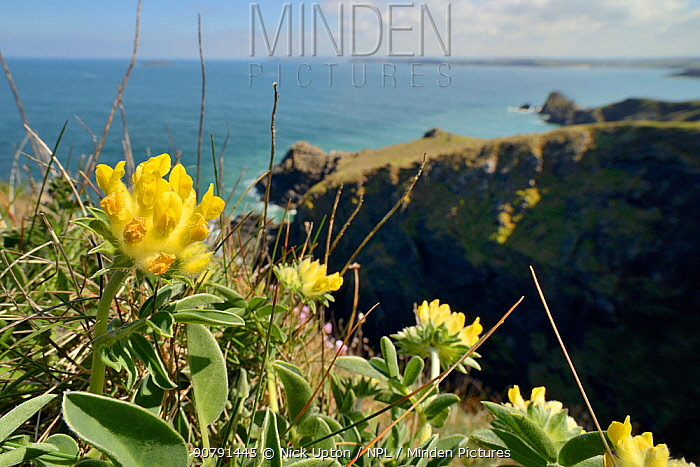Kidney vetch (Anthyllis vulneraria) flowering on coastal grassland, Trevose Head, Cornwall, UK, May.