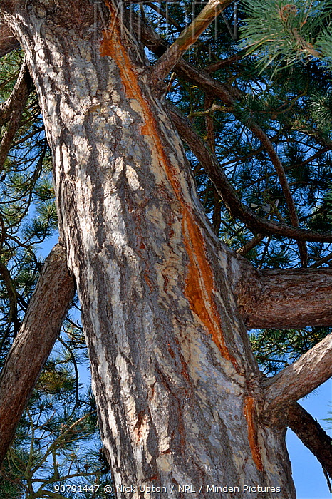 Scots pine (Pinus sylvestris) with vertical scar in the bark from a recent lighting strike, where electrical currrent ran to earth down the tree, Cambridge, UK, July.