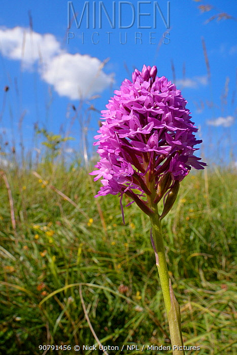 Pyramidal orchid (Anacamptis pyramidalis) flowering in a chalk grassland meadow, Wiltshire, UK, July.