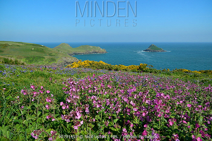 Red Campion (Silene dioica), Bluebells (Hyacinthoides non-scripta / Endymion non-scriptus) and Common gorse (Ulex europaeus) flowering on coastal grassland, Pentire Head, Cornwall, UK, May.