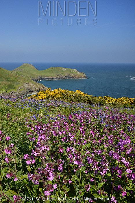 Red Campion (Silene dioica), Bluebells (Hyacinthoides non-scripta / Endymion non-scriptus) and Common gorse (Ulex europaeus) flowering on coastal grassland, Pentire Head, Cornwall, UK, May.