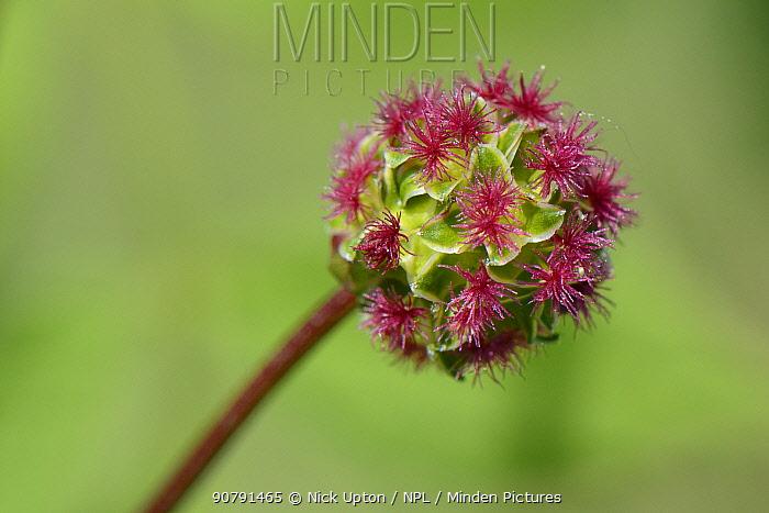 Salad burnet (Sanguisorba minor) flowering in chalk grassland meadow, Wiltshire, UK, May.