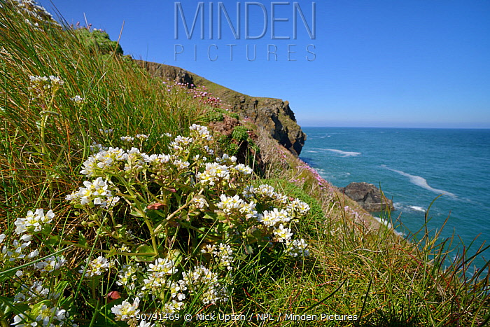 Common scurvygrass (Cochlearia officinalis) flowering on coastal cliff, Cornwall, UK, May.