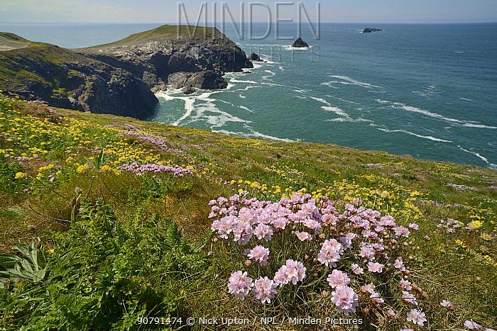 Sea thrift (Armeria maritima) and Kidney vetch (Anthyllis vulneraria) flowering on clifftop, Trevose Head, Cornwall, UK, May.