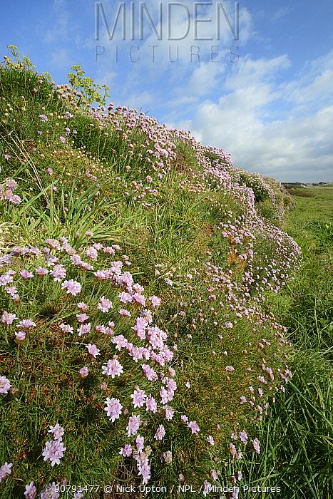Sea thrift (Armeria maritima) flowering on an old wall bordering coastal grassland, Constantine Bay, Cornwall, UK, May.
