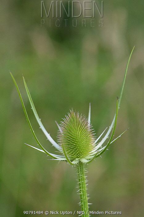 Common teasel (Dipsacus fullonum) flowerhead in bud, Wiltshire, UK, July.