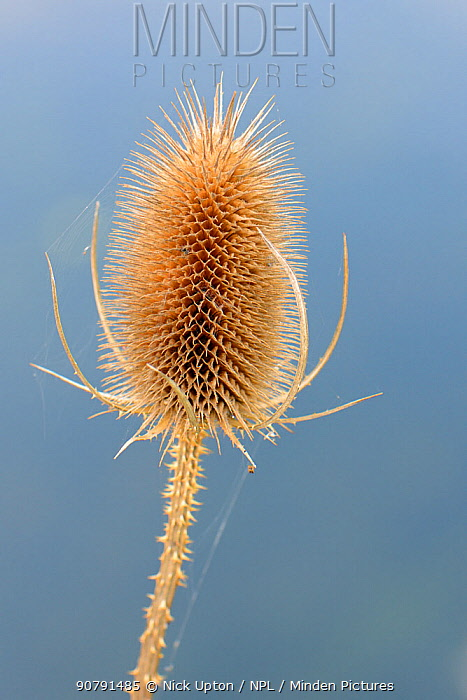 Common teasel (Dipsacus fullonum) seedhead on a river bank, Wiltshire, UK, September.
