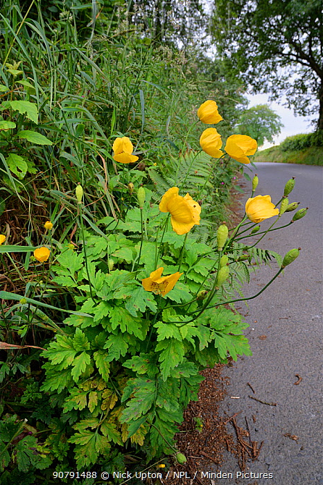 Welsh poppy (Meconopsis cambrica) flowering on a roadside verge, Ceredigon, Wales, UK, June.