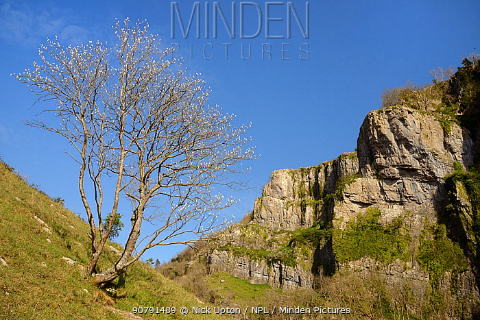 Whitebeam tree (Sorbus sp.) with leaves in bud, Cheddar Gorge, Mendip Hills, Somerset, UK, April.