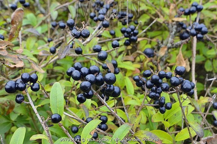 Wild privet (Ligustrum vulgare) bush in coastal scrubland with clusters of berries, Cornwall, UK, October.