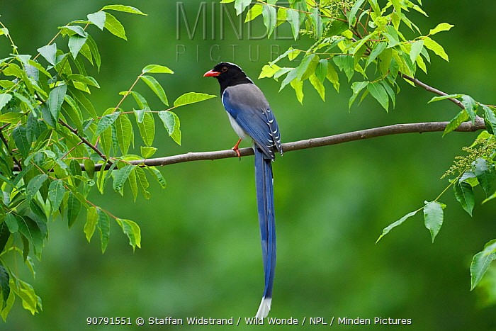 Red-billed blue magpie (Urocissa erythroryncha) perched on a branch, Yangxian Biosphere Reserve, Shaanxi, China, April.
