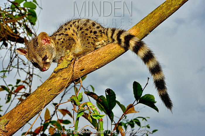 Common genet (Genetta genetta) juvenile in tree, Togo. Controlled conditions.
