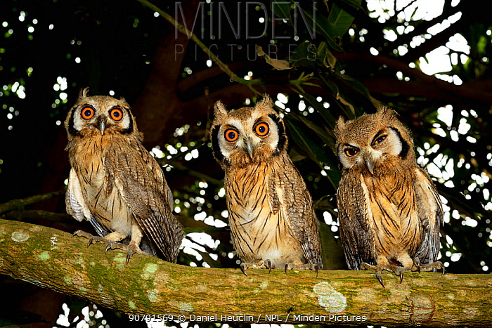 Northern white-faced owl (Ptilopsis leucotis) juveniles, Togo.