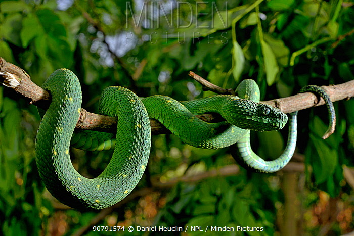 West African tree viper (Atheris chlorechis) on branch Togo. Controlled conditions