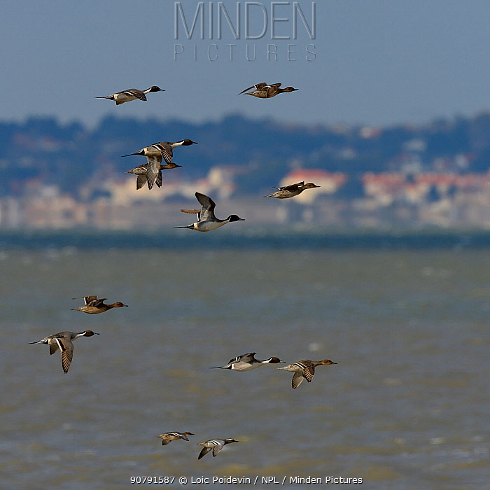 Northern pintail (Anas acuta) in flight, Vendee, France, February.