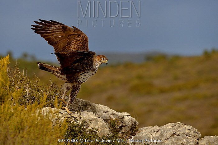 Bonelli's eagle (Aquila fasciata) taking off from a rock, Valencia, Spain, February