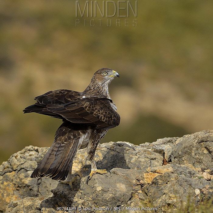 Bonelli's eagle (Aquila fasciata) perched on rock, Valencia, Spain, February