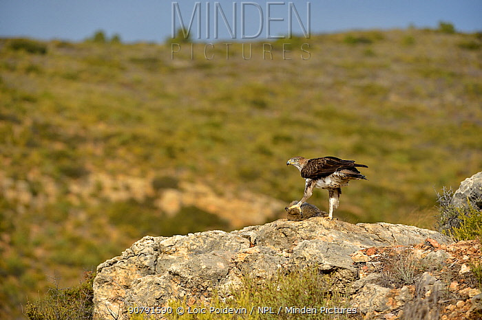 Bonelli's eagle (Aquila fasciata) with rabbit prey, Valencia, Spain, February