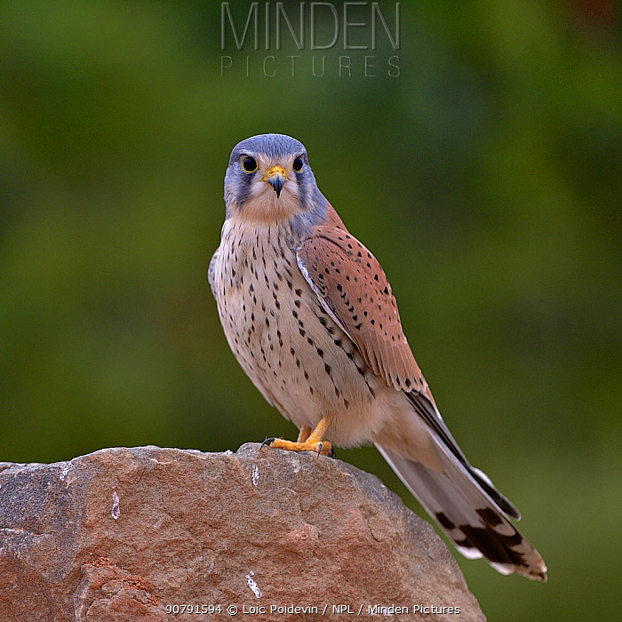 Common kestrel (Falco tinnunculus) male perched on a rock Valencia, Spain, February.