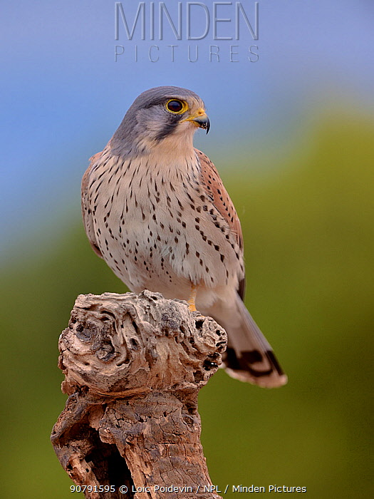 Common kestrel (Falco tinnunculus) male perched on a branch, Valencia, Spain, February.