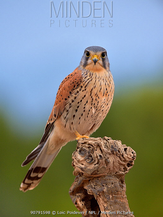 Common kestrel (Falco tinnunculus) perched on a branch, Valencia, Spain, February