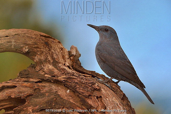 Blue rock thrush (Monticola solitarius) perched on a branch, Valencia, Spain, February