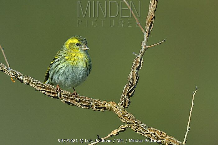 Eurasian siskin (Carduelis spinus) perched on a branch, Vendee, France, February.