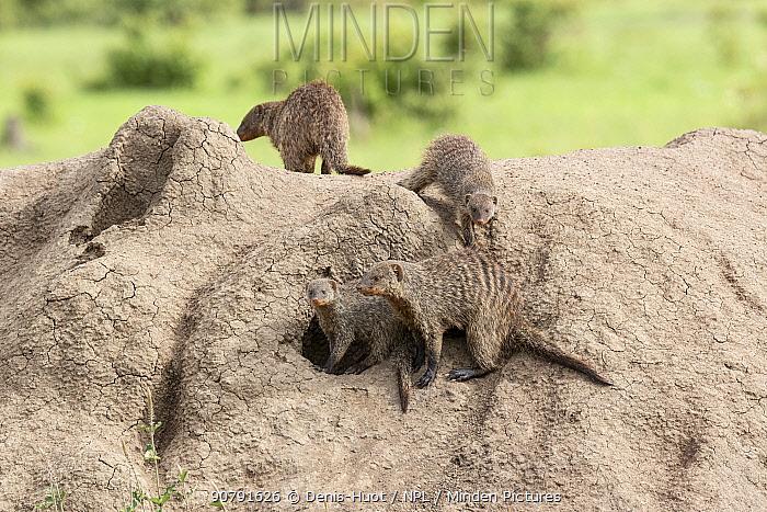 Banded mongoose (Mungos mungo), group on termite hill, Masai-Mara Game Reserve, Kenya