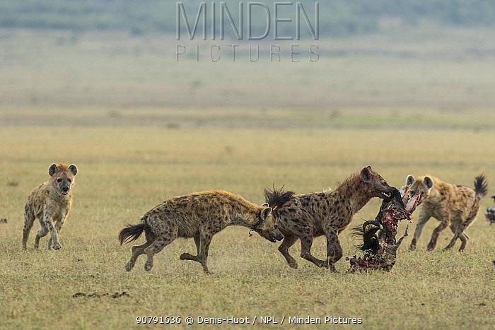 Spotted hyena (Crocuta crocuta), female carrying prey, Masai-Mara Game Reserve, Kenya