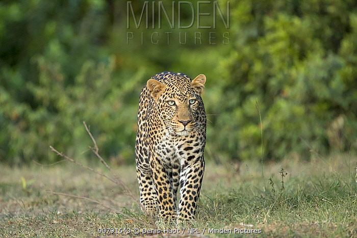 Leopard (Panthera pardus) walking, Masai-Mara Game Reserve, Kenya,