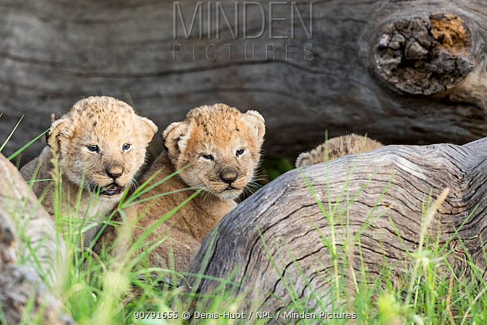 Lion (Panthera leo), three cubs hiding while their mother is hunting, Masai-Mara Game Reserve, Kenya