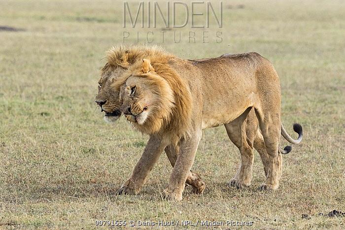 Lion (Panthera leo) two males rubbing heads affectionately, Masai-Mara Game Reserve, Kenya
