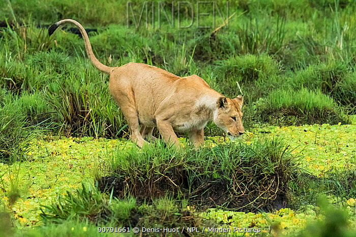 Lion (Panthera leo), female jumping onto small mound in pond, Masai-Mara Game Reserve, Kenya. Sequence 5 of 5.