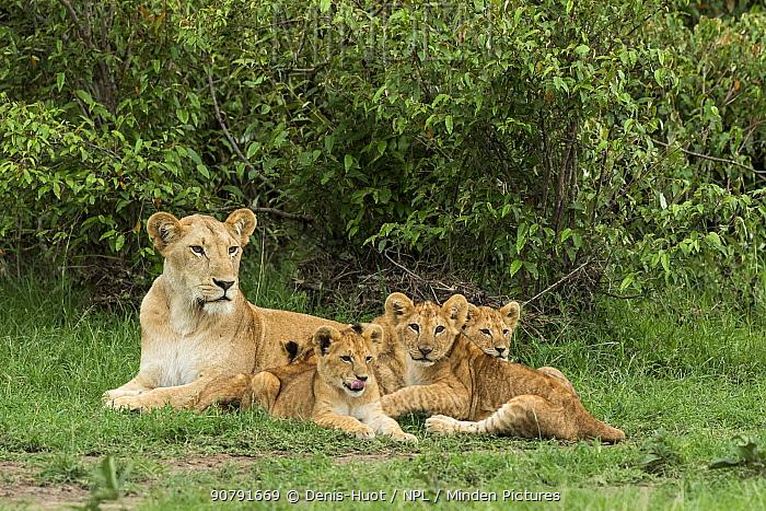 Lion (Panthera leo), female with four cubs, age 2-3 months, Masai-Mara Game Reserve, Kenya
