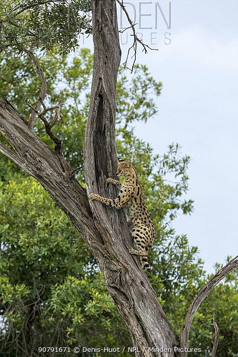 Serval (Leptailurus serval), climbing tree,  Masai-Mara Game Reserve, Kenya