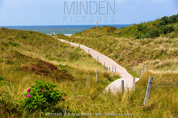 Pathway to the Beach, Spiekeroog Island,  East Frisian Islands, Wittbulten National Park.  Wadden Sea UNESCO World Heritage Site, Germany, June.